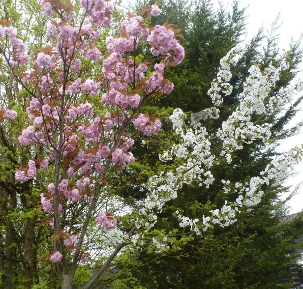 japanische Kirschblütenbaum mit Veredelung Zweig weiße Kirschblüte