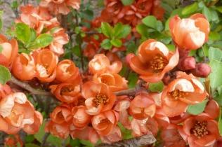 Schönmalvebuschblüten