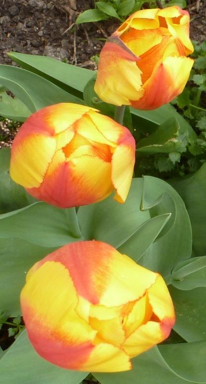 gelb hell rote Tulpen