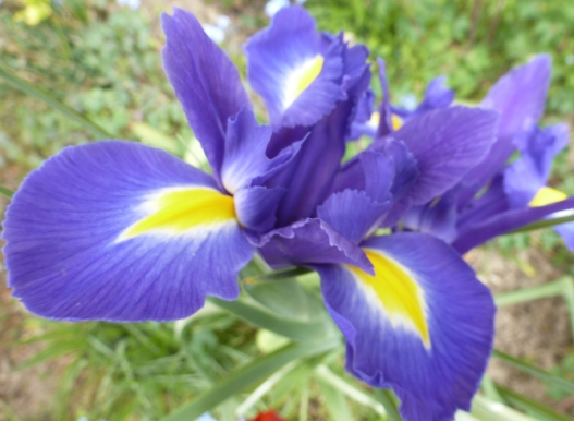blaue Irisblüte