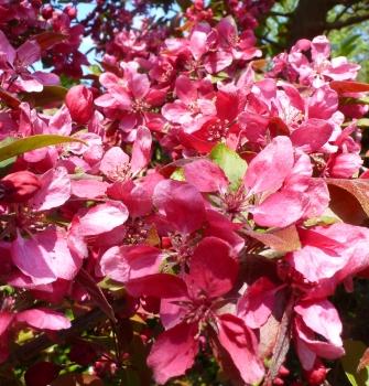 Wildkirschenbuschblüten