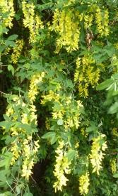 Goldregenbusch