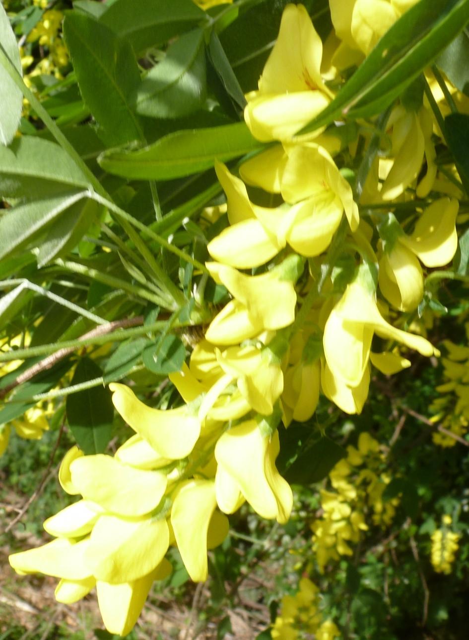 Goldregenblüte