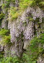 lila Hängeblütenranken