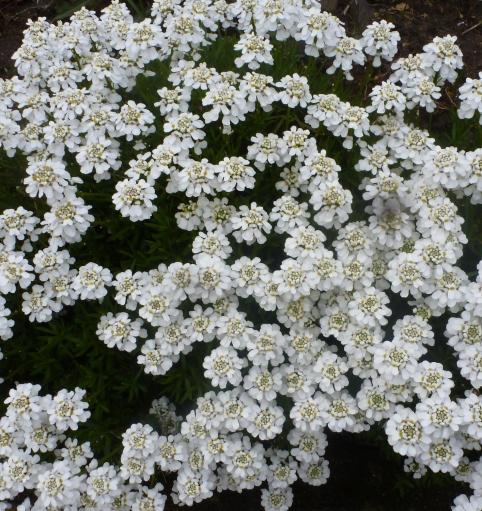 weiße Bodendecker