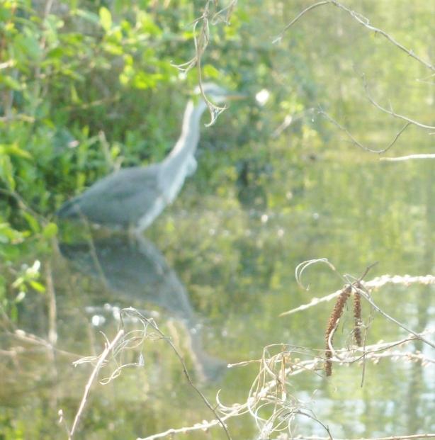 Reiher warten auf die Fischlein die da kommen sollen