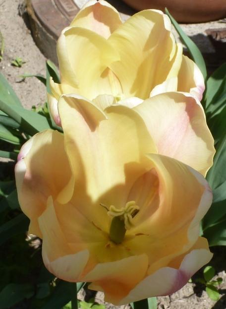 Tulpenblüte fast verblüt