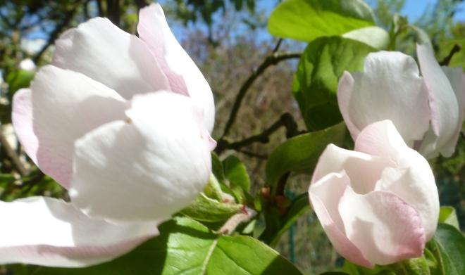 Nach 4 Tagen sind die Quittenknospe zur wunderschönen Blüten erwacht