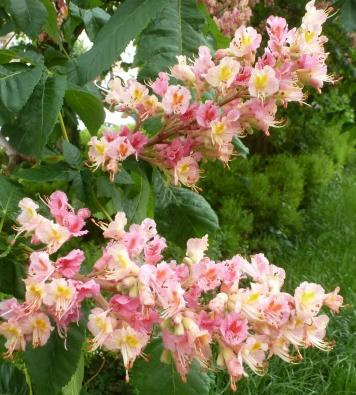 rosane Kastanienblüten