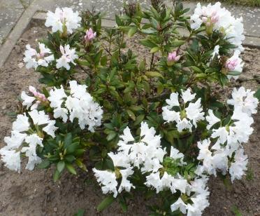 Garten Hortensie Busch