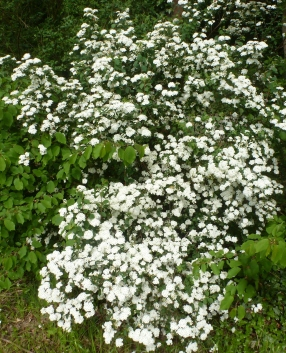 Jasminblütenbusch