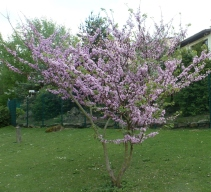 herrlicher Blütenbaum