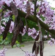 Der Blütenbaum mit Samen