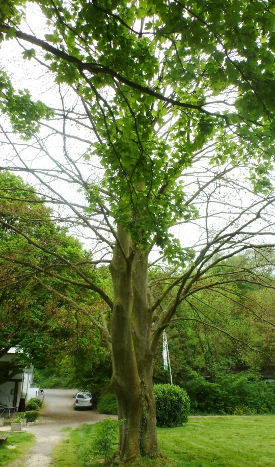 uralter Ahornbaum