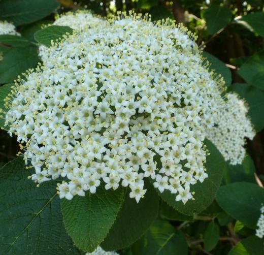 weiße wilde Blüte
