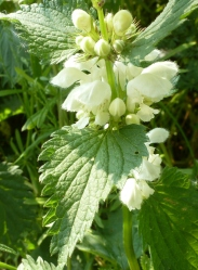 weiße Brennnesselblüte