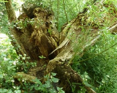 zerbrochener Ahornbaum