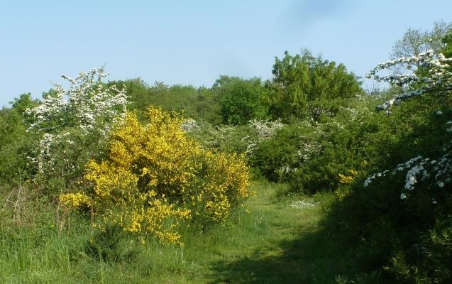 Ginster und Jasminblüten