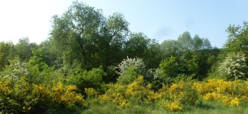 Ginsterbüsche in voller Blüte