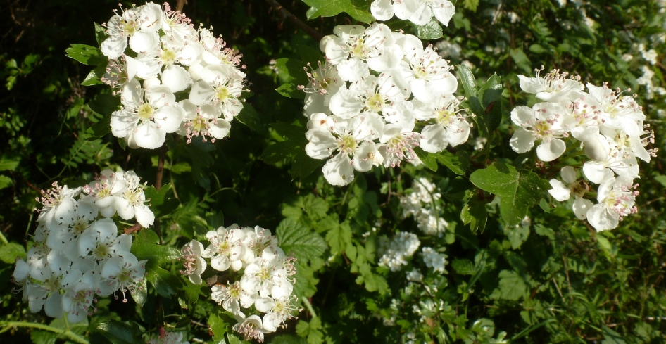 wilde weißer Blütenbusch