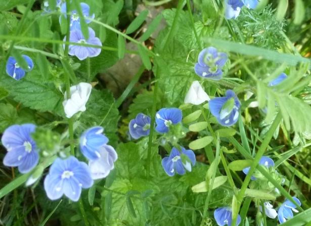 wilde blauen Blüten