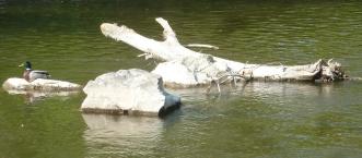 mitten im Fluß ein alter Baum und Stockente
