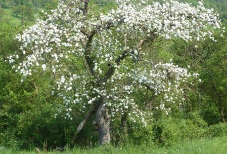 wilder alter Apfelbaum in Blüte