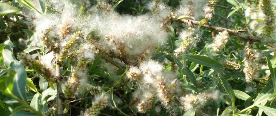 Weidengewächs in voller Blüte