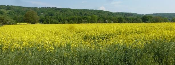 Rapsfeld in voller Blüte