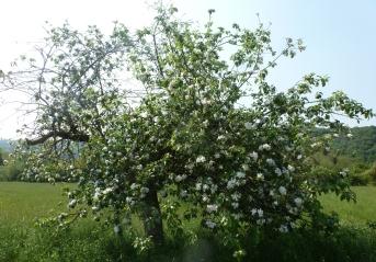 sehr alter Apfelblütenbaum