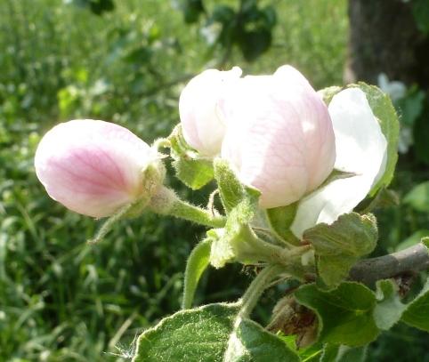 wunderschöne Apfelknospenblüte