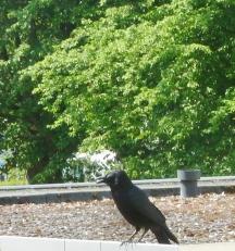Die Krähe auf dem Dach
