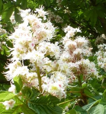 weiße Kastanienblüten