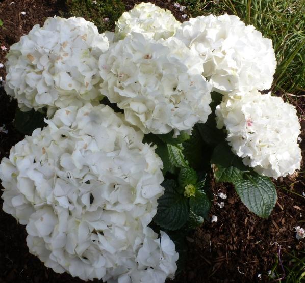 weiße Rhododendron in voller Pracht