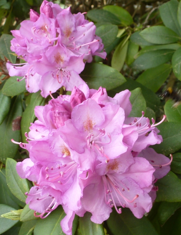 rosane Blüten Pracht