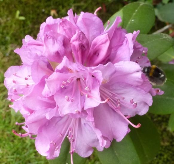 rosane Blüte mit Biene
