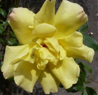 gelbe Rosenblüte am verblühen
