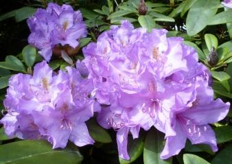 hell lila Blüten wunderschön