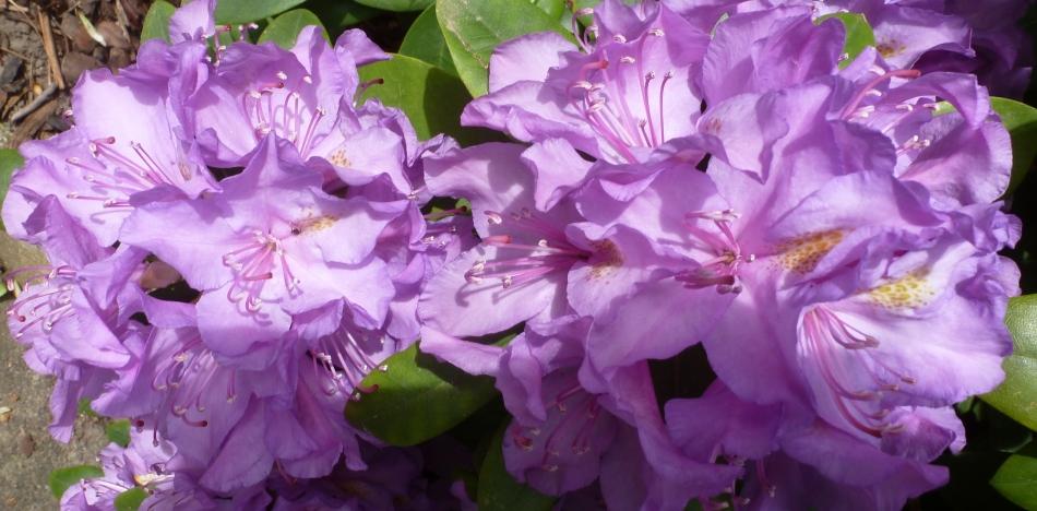 seltene Rhododendronfarbe in lila