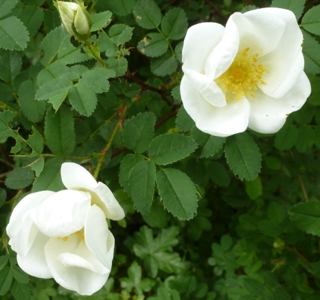 weiße Wildrosenblüten