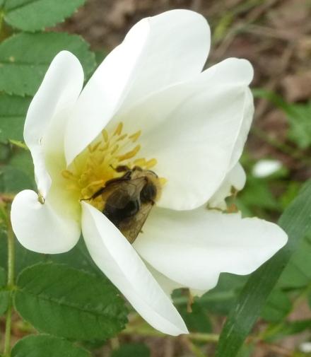 weiße Wildrose mit Biene