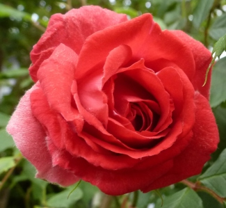 Dle Rose aller Rosen