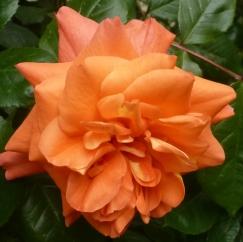 seltene lachsfarben Rose
