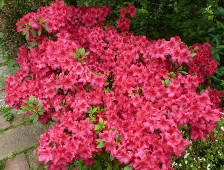 rote Azaleenbusch