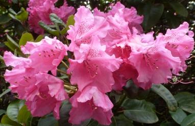 rosaner Rhododendron busch