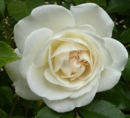Weiße Rosenblüte