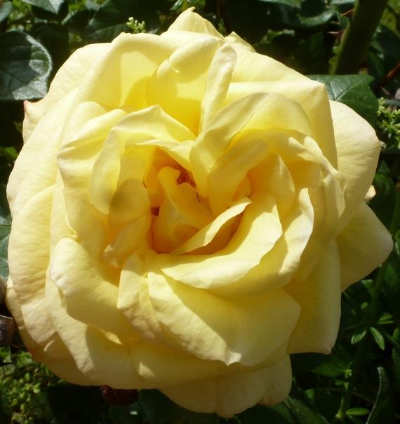 gelbe Rosen einfach schön