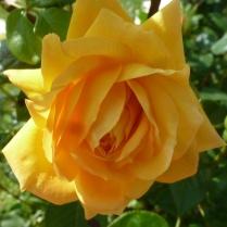 gelbe Rosenblüte