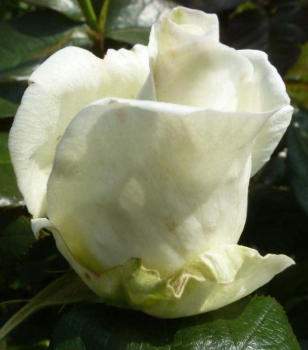 weiße Rosenknospe