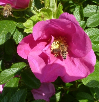 Wilde Rosenblüte mit Biene